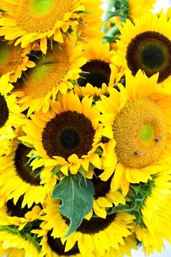 As mais lindas...: Favorite Flowers, Flowers Sunny Sunflowers, Swaying Sassy Sunflowers, Beauty Sunflowers, Sunflower Garden, Smile, Sun Flowers, Grew Sunflowers, Sunflowers Girasole
