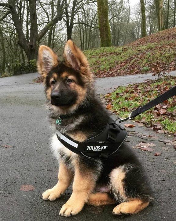 German Shepherd puppy with their Julius K9 harness. Love it!