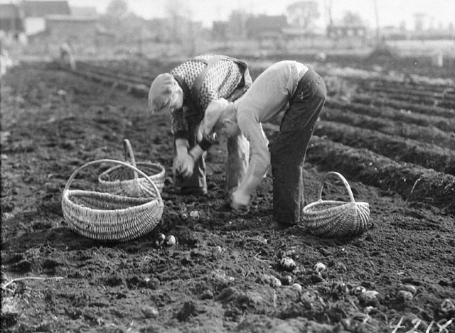 Potato harvest, Cyrville Rd., Ottawa, Ontario / Récolte de pommes de terre le long du chemin Cyrville, à Ottawa (Ontario) | by BiblioArchives / LibraryArchives