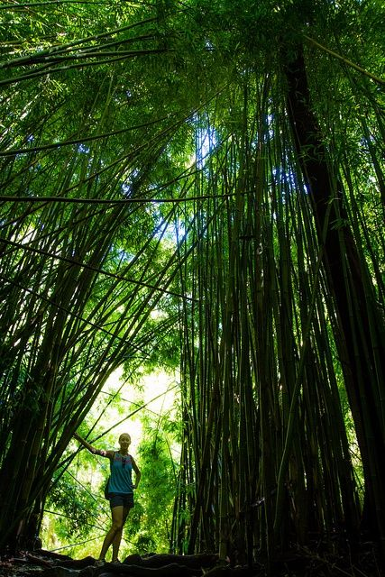 Bamboo forest on the Pipiwai Trail in the Kipahulu Area of Haleakala National Park on the eastern side of Maui.