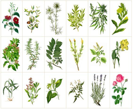 Pflanzen Illustrationen, Quelle http://www.waschkultur.de/inhaltsstoffe.htm