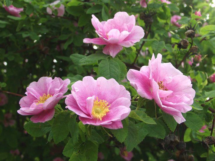 'Tarja Halonen' - Rosa blanda