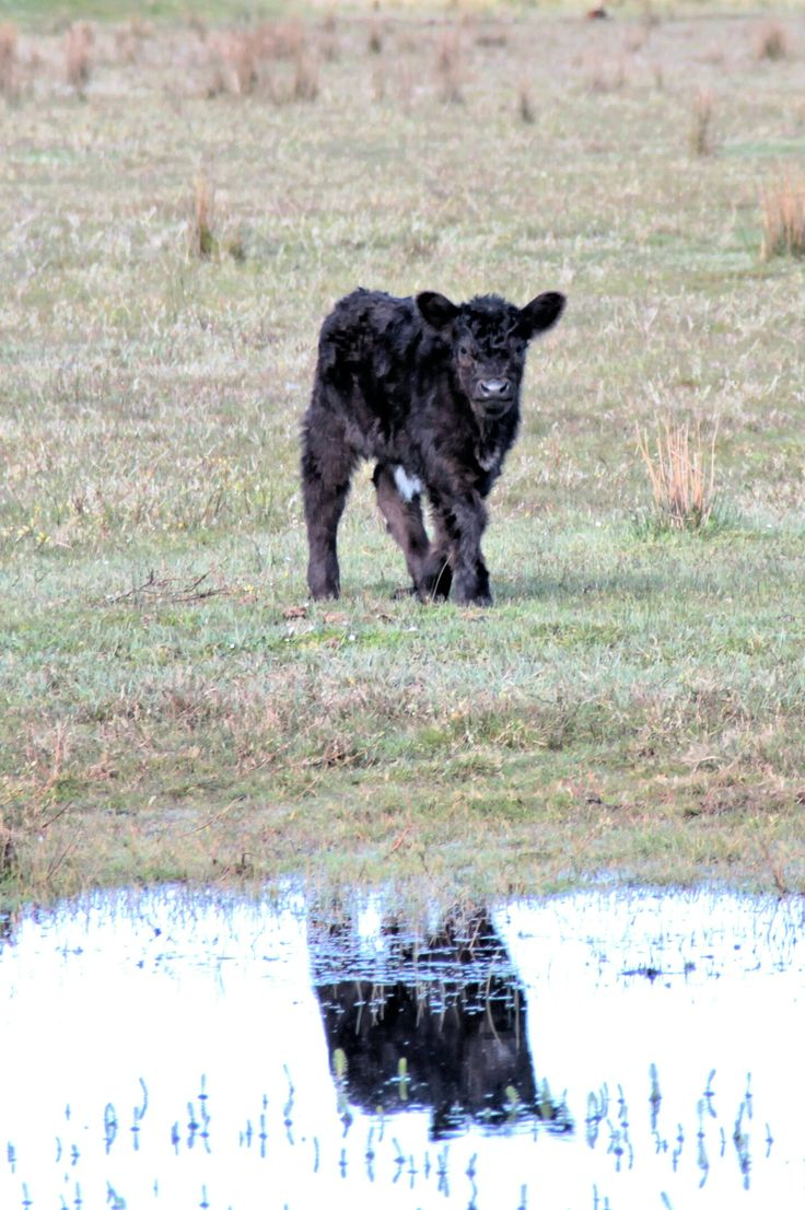 Een kalfje. Genomen vorig jaar in mei.  A calf. Taken last year in May.  Taken with: Canon EOS 60D