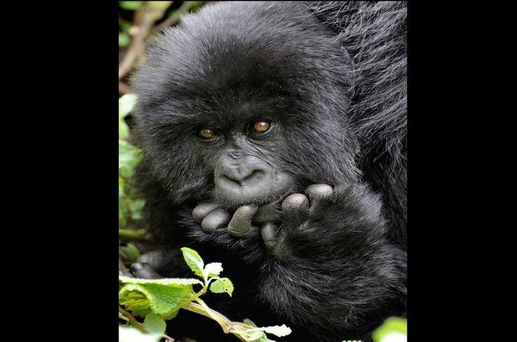 Décadas de guerra civil, destruição do hábitat, extração de madeira, caça ilegal, criação de gado... motivos não faltam para a redução da população de gorilas-das-montanhas (Gorilla beringei) para aproximadamente 680 indivíduos. Hoje, a maioria desses animais se encontra em áreas protegidas, onde ONGs internacionais apoiam programas de reabilitação e conservação.