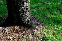 Grass Seed For Shade: What Grass Grows In Shade - Grass doesn't like shade. If you have a lot of shade trees or other low light conditions in your yard, you're never going to have a lawn. It's as simple as that. Or is it? Learn more here.