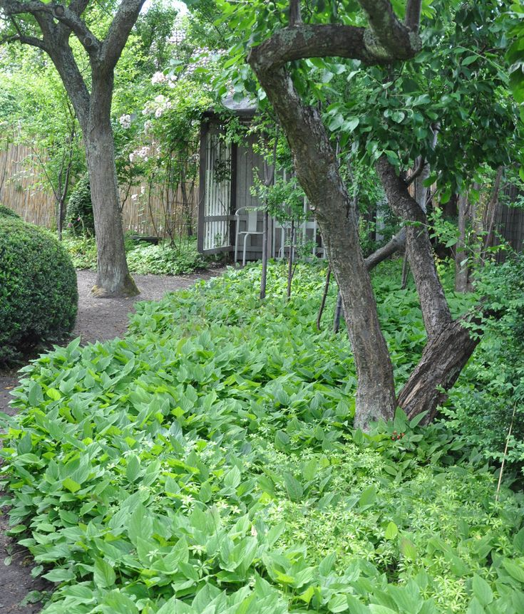 Ormöga är en bra marktäckare under buskar och träd i woodlandmiljö.