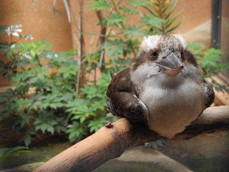 Kookaburra - oder: Lachender Hans