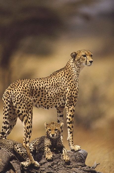Cheetah (Acinonyx Jubatus) Mother With, Adolescents, Samburu National Reserve…