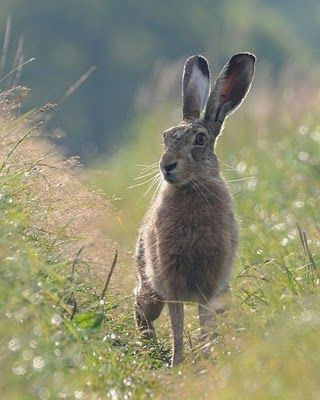 Photograph Of Hare Animal Long Eared Rabbit - http://www.petandanimals.com/photograph-of-hare-animal-long-eared-rabbit/
