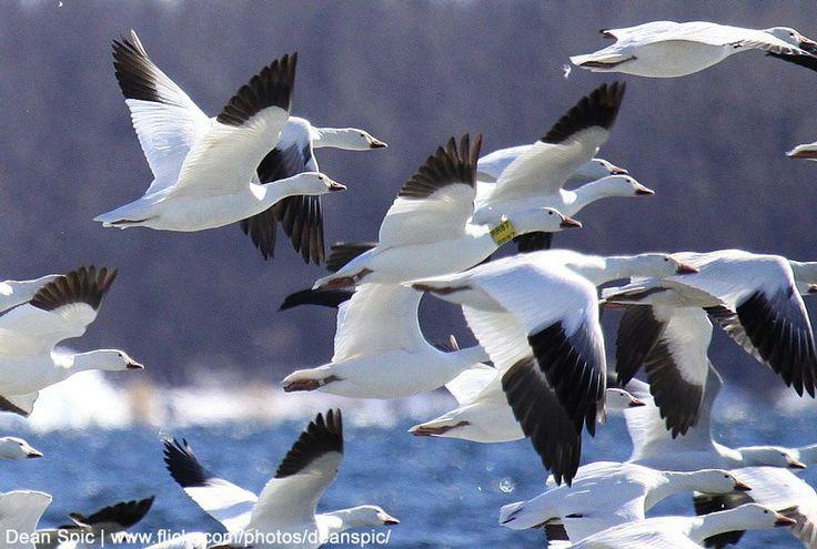 Les oies équipées d'un collier sont plus faibles au printemps   On a découvert que les femelles d'Oies des neiges munies d'un collier étaient plus maigres que les autres lors de leur migration de printemps (photo : Dean Spic). #ornithologie #oiseaux #oiseau #nature