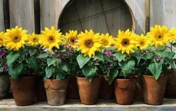 big smile sunflower is an extra dwarf sunflower that can be grown in pots. Its only 50 days until blooming from first sowing from seed. I really want to try these. They seem so bright and sunny.
