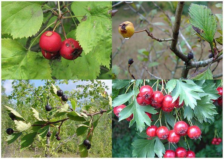 Πυρφόρος Έλλην: Ποιά βότανα ρίχνουν την πίεση - Which herbs throw ...