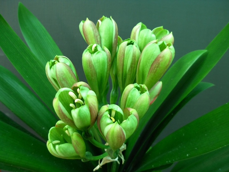 Green Lips, another green clivia