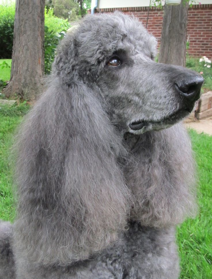 79 best images about Standard Poodles on Pinterest | My ...
