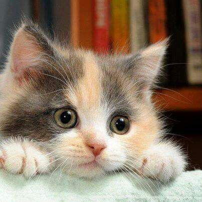 Adorable Little Fluffy Calico Kitten - Just Look at those Little Green Eyes, Aww!