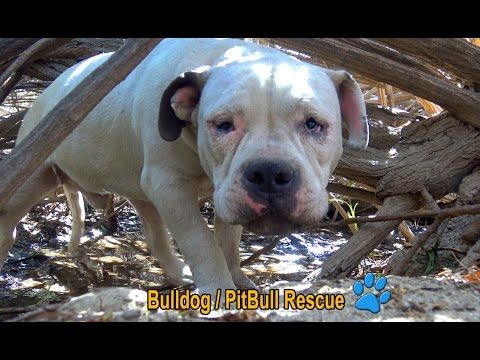 Scared homeless Bulldog / PitBull living in the bushes alone until Hope For Paws arrived! - YouTube