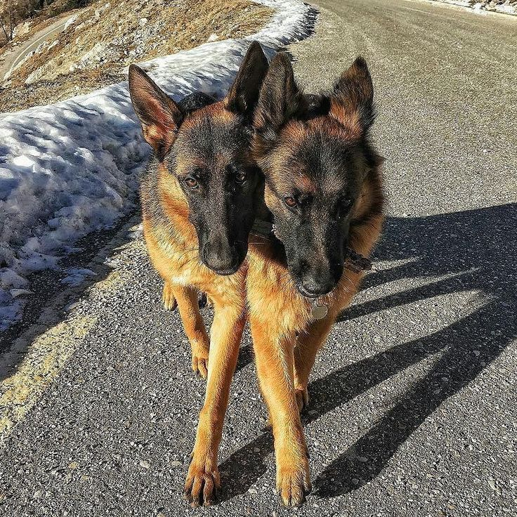 "Le gemelle Kessler formato ottozampe prossimamente vogliamo un video mentre ballano il BABAUmpa  Foto di: @alefranz_kim.gsd #BauSocial  ""Le Kessler... "" Pawtners:  @joey.gsd_giulia @aki_gsd #dog #doglover #ilovemydog #instadog #germanshepherd #gsd #germanshepherdsofinstagram #gsdofinstagram #gsdstagram #gsdsofigworld #cane #holidog #beautiful #cute #pet #funny #instalike #dogs #dogoftheday #photo #photography #dogphotography #instaphoto #photooftheday #picture #picoftheday #bestoftheday…"