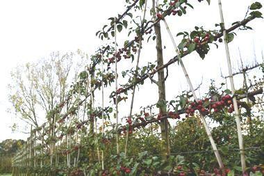 Malus 'Evereste'  Malus evereste ist ein Apfelbaum. Der Baum hat eine eher öffene Struktur, die Etagen sind also gut sichtbar – eine dichte Schirmform wird er nicht machen