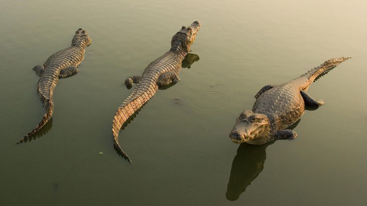 crocodile image desktop nexus wallpaper, 209 kB - Clifton Fairy