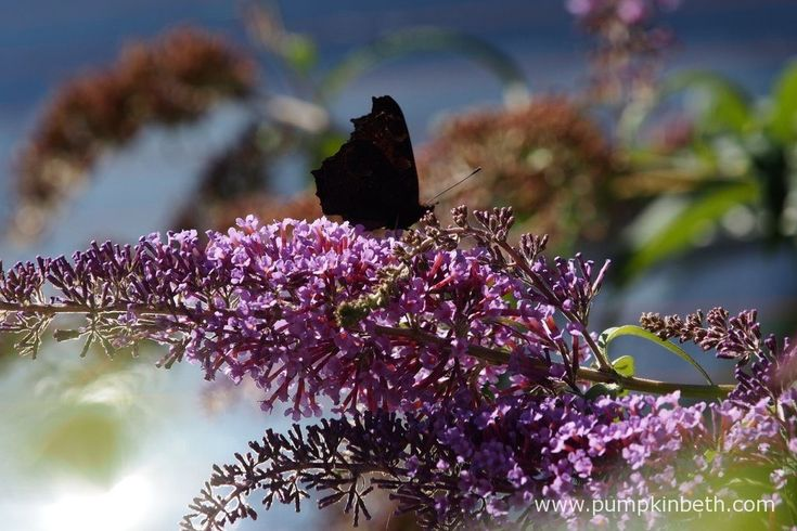 Here a Peacock butterfly, which is also known by its scientific name of Aglais io, is feeding on Buddleja davidii. In contrast to its colourful…
