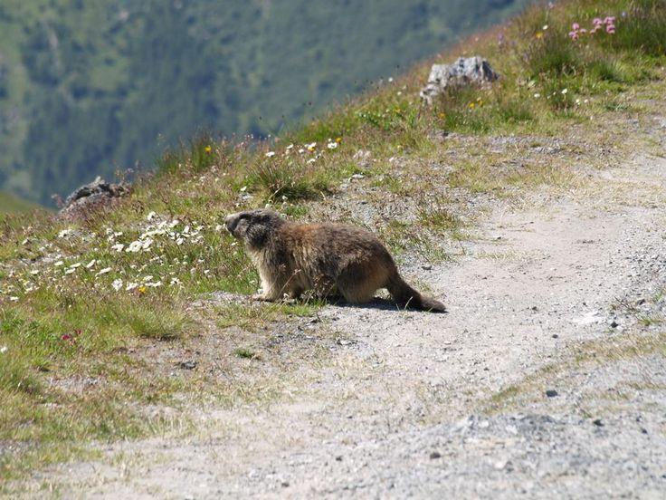 Marmotte de #Vanoise