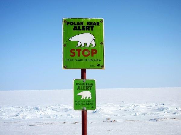 Polar bear alert, Churchill, Manitoba.