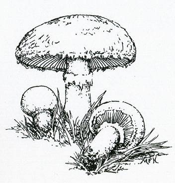 31 besten Mushrooms Bilder auf Pinterest | Pilze ...