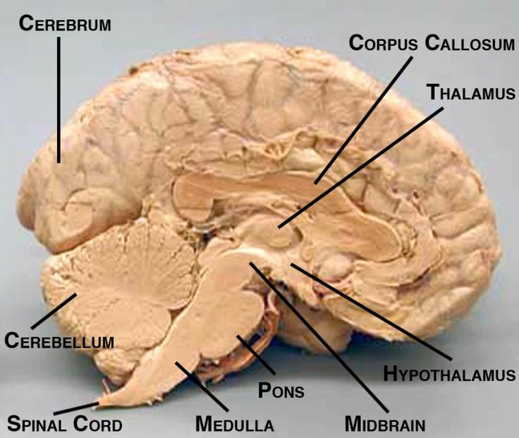 Midsagittal view of brain with labelled structures                                                                                                                                                                                 More