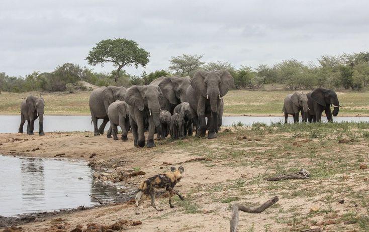 Vahşi köpek- Afrika fil sürüsü
