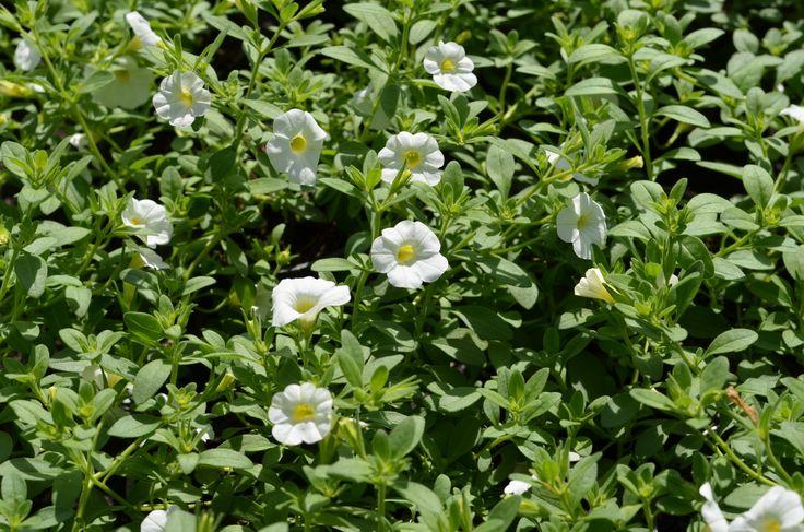 Calibrachoa hybrida 'Callie White' minipetunie, Million Bells