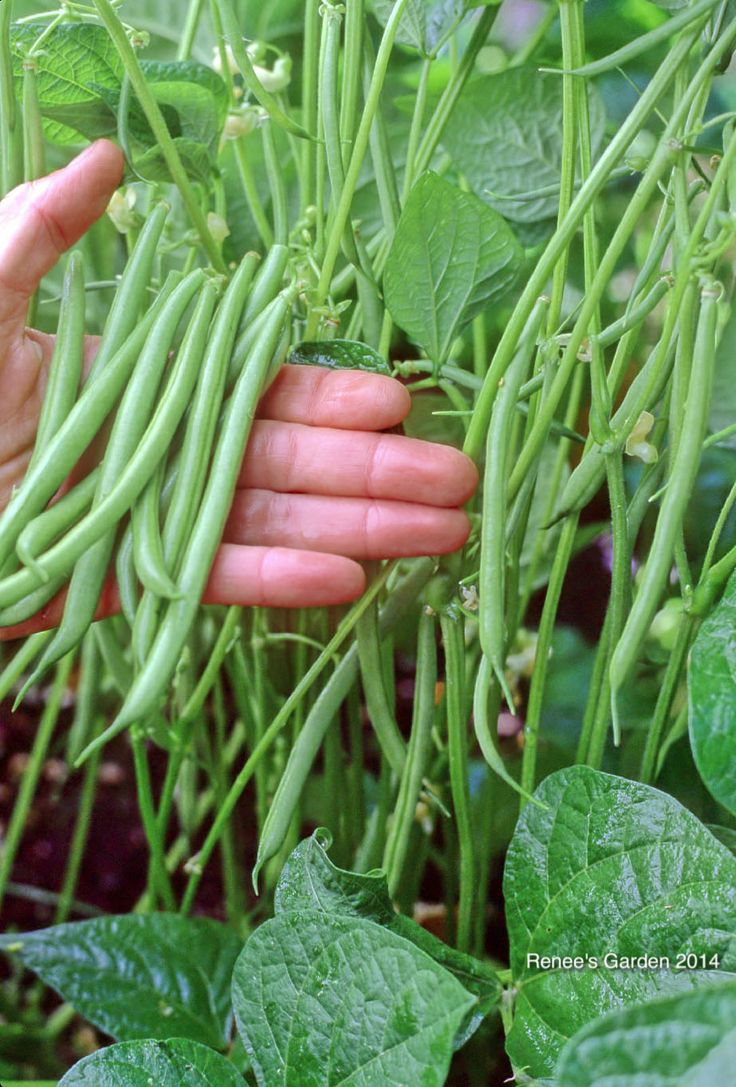 Growing bush beans in containers - 5 Best Container Vegetables For Beginning Gardeners Rolande Bush Bean Pot Of Gold Chard Bush Slicer Cucumber Jade Gem Lettuce Also Little Gem From