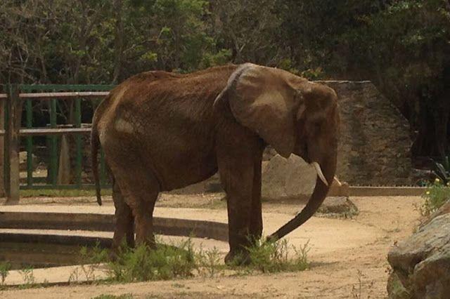 Al elefante del zoológico de Caricuao se le ven las costillas  http://www.facebook.com/pages/p/584631925064466