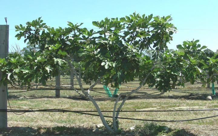 Image Result For Evergreen Fruit Tree Nz Fruit Trees Evergreen Anti Aging Wrinkles