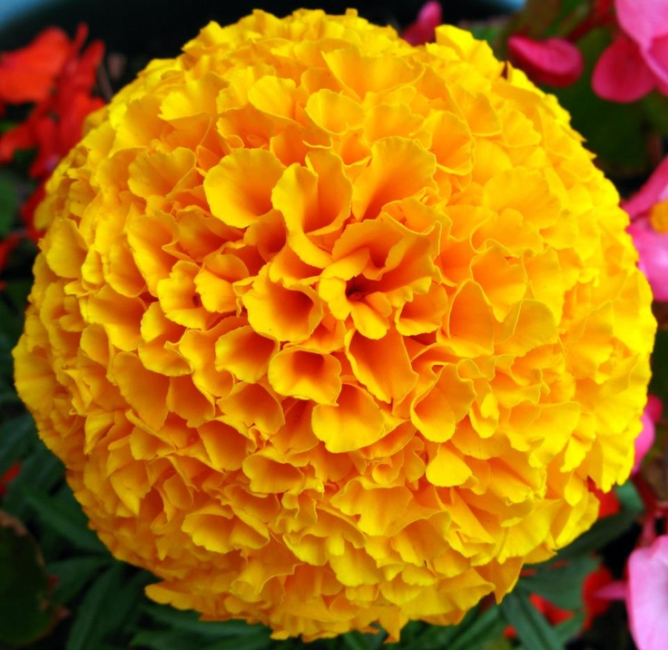 Are used to make a lotion for sprains and wounds marigold cream