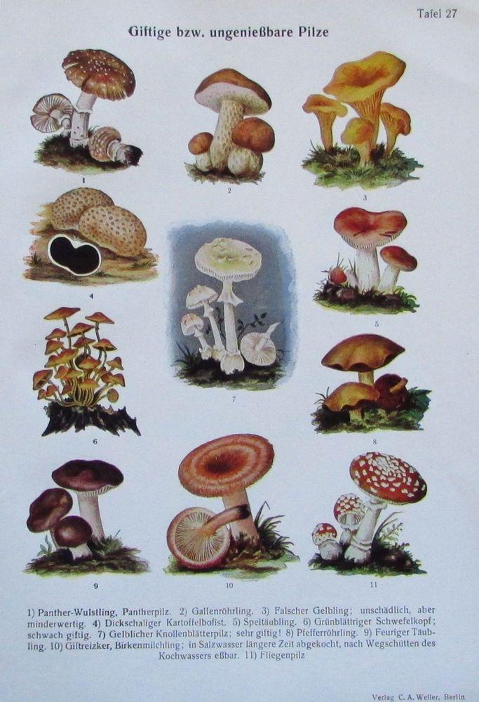 1937 Giftige bzw. ungenießbare Pilze, Botanik - alter Farbdruck old print