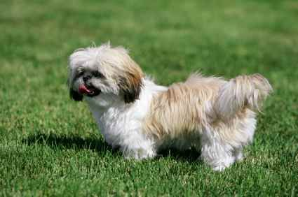 Shih Tzu Information |Things You Need To Know About Your Shih Tzu
