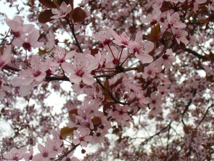 Ringló virágzás