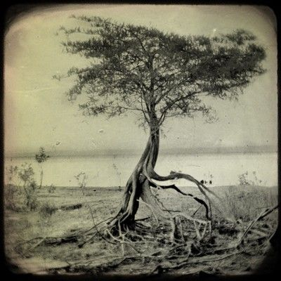 The most peculiar, dramatic looking tree. By Sarah Norris photography black_and_white nature