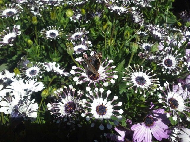 Butterfly on Osteospermum