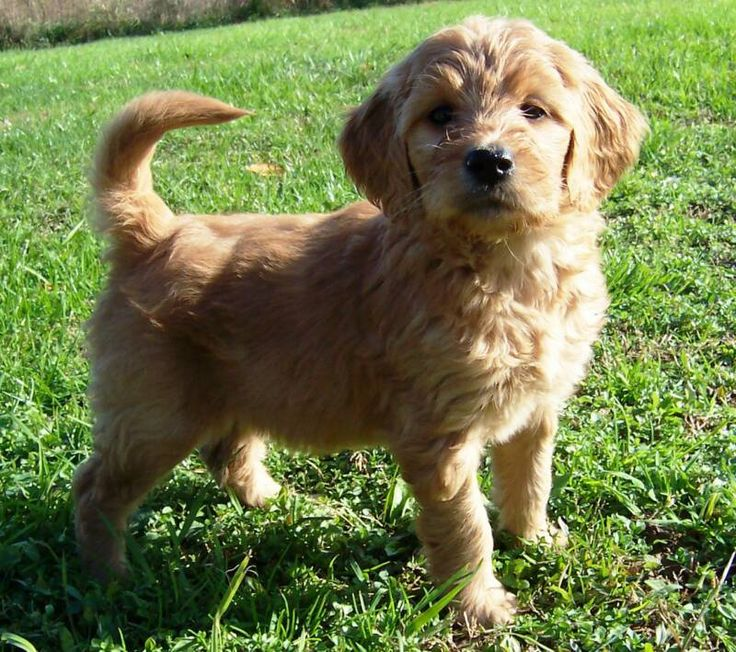 Want a toy goldendoodle that will stay small forevs