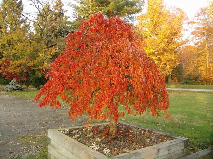 Dwarf Ornamental Trees | Prunus Snofozam - Snow Fountain Is A Superb Weeping Cherry That Has ...