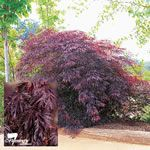 A striking dark foliaged 'laceleaf' weeping Acer palmatum 'Dissectum Inaba Shidare' - Japanese maple that retains burgundy-black foliage well through summer. A robust small tree for small sheltered park and garden sites.