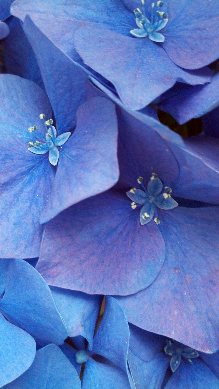 Hydrangea blue blooms. #hydrangeamacrophylla #hydrangea #mophead