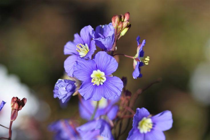 Blue flax -Heliophila Coronopifolio