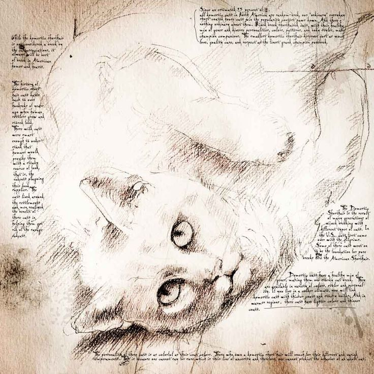 "Da Vinci Cat | Domestic Shorthair Face"" Detail of a Da Vinci style drawing"