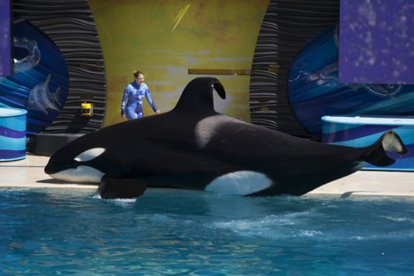 SeaWorld Loses Fight to Get Trainers Back in Water With Orcas