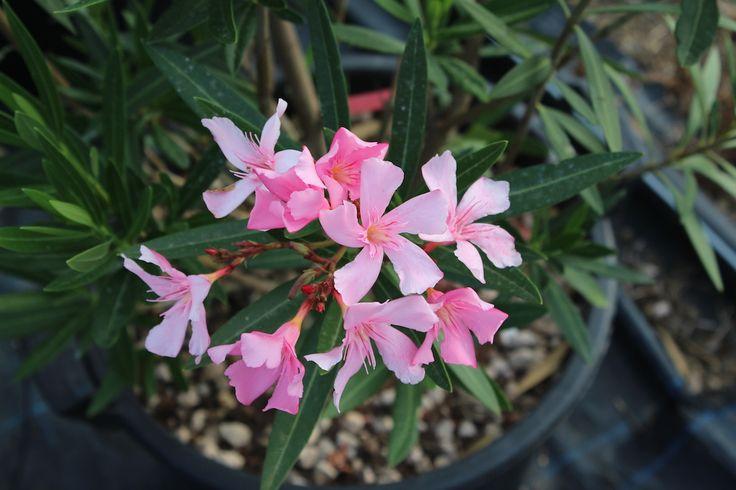 Pianta di oleandro rosa chiaro