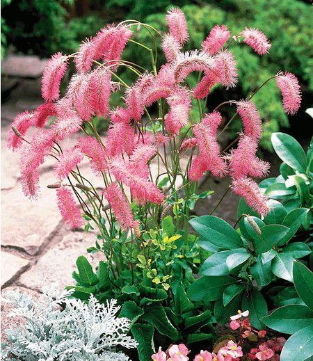 Die Pflanze gedeiht problemlos auf jedem nicht zu trockenen Boden in Sonne oder Halbschatten. Auch sehr schön am Teichrand. Sie wird vor allem wegen der flaschenbürstenähnlichen Blütenähren geschätzt, die besonders farbintensiv erblühen.