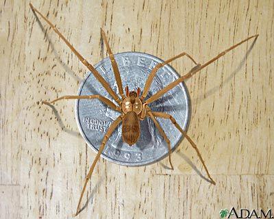 Araña reclusa parda.