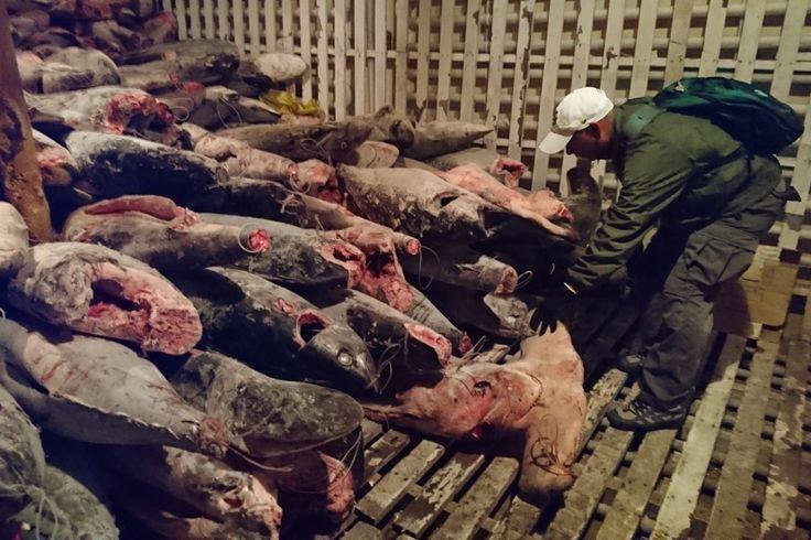 Galápagos: intervienen barco pesquero chino y encuentran en las bodegas cargamento ilegal de tiburones : Noticias ambientales